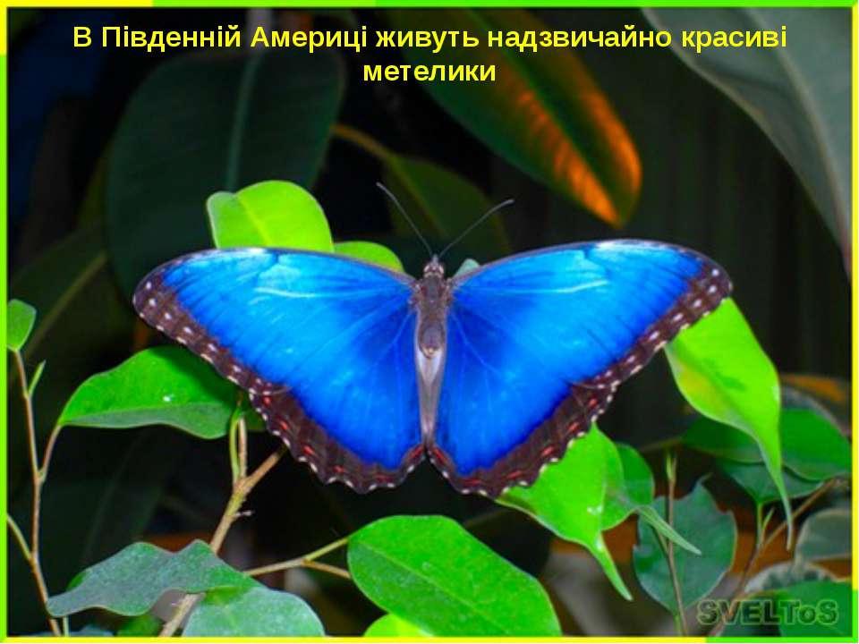 В Південній Америці живуть надзвичайно красиві метелики