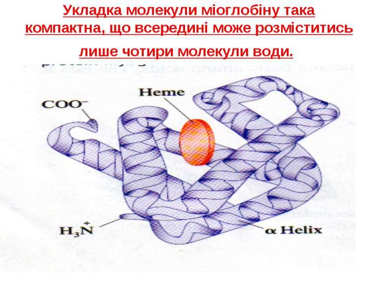Укладка молекули міоглобіну така компактна, що всередині може розміститись ли...