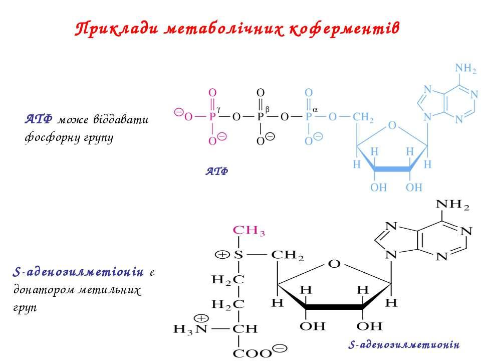 Приклади метаболічних коферментів ATФ S-аденозилметионін АТФ може віддавати ф...