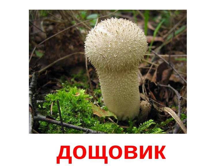 дощовик