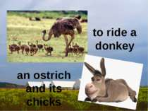 to ride a donkey an ostrich and its chicks