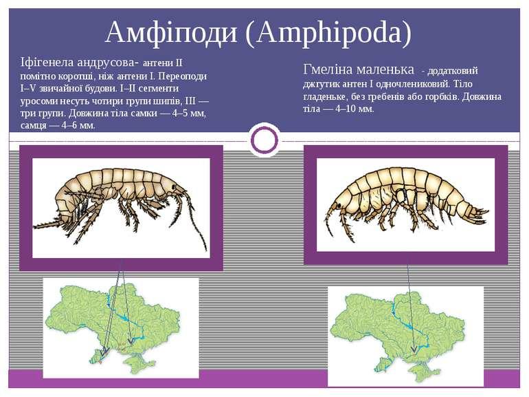 Амфіподи (Amphipoda) Гмеліна маленька - додатковий джгутик антен І одночленик...