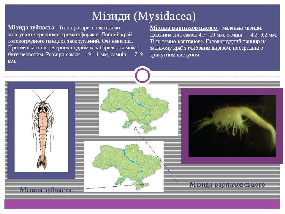 Мізиди (Mysidacea) Мізида зубчаста Мізида варпаховського - маленькі мізиди. Д...