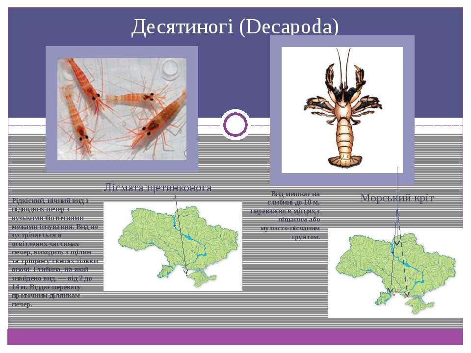 Десятиногі (Decapoda) Лісмата щетинконога Морський кріт Вид мешкає на глибині...