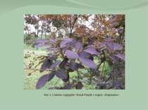 Рис.2. Cotinus coggygria 'Rotal Purple у парку «Перемога»