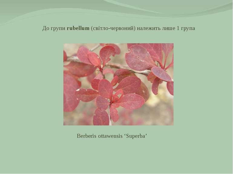 До групи rubellum (світло-червоний) належить лише 1 група Berberis ottawensis...
