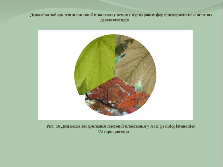 Динаміка забарвлення листової пластики у деяких пурпурових форм декоративно-л...