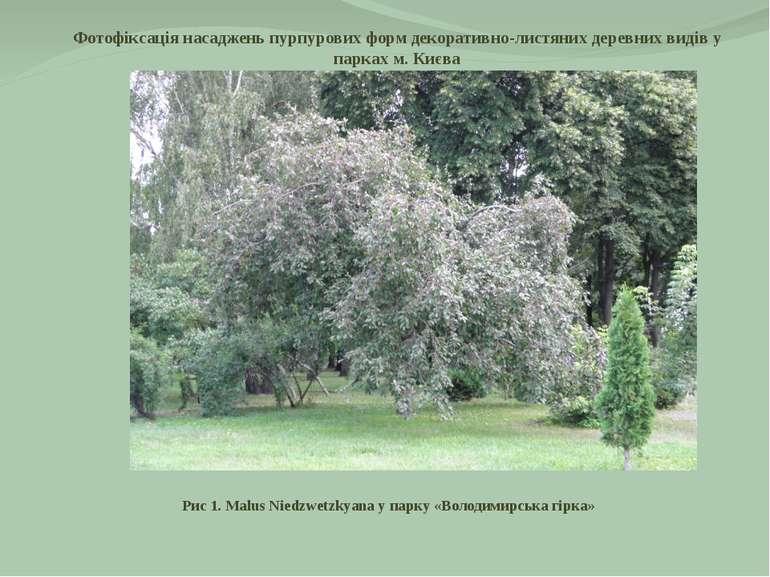 Фотофіксація насаджень пурпурових форм декоративно-листяних деревних видів у ...