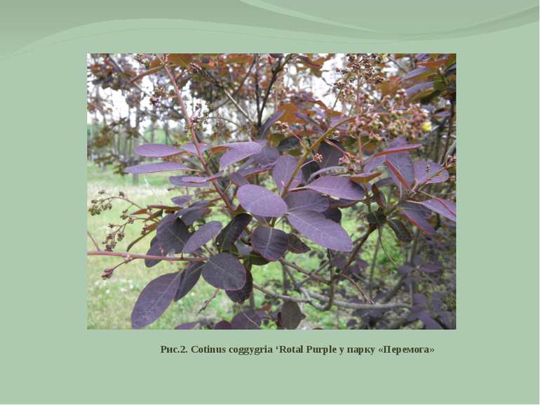 Рис.2. Cotinus coggygria 'Rotal Purple у парку «Перемога»