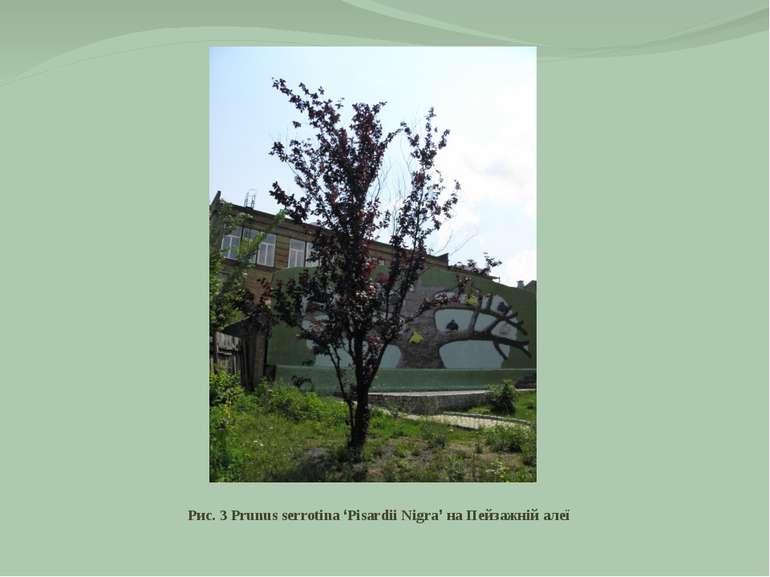 Рис. 3 Prunus serrotina 'Pisardii Nigra' на Пейзажній алеї