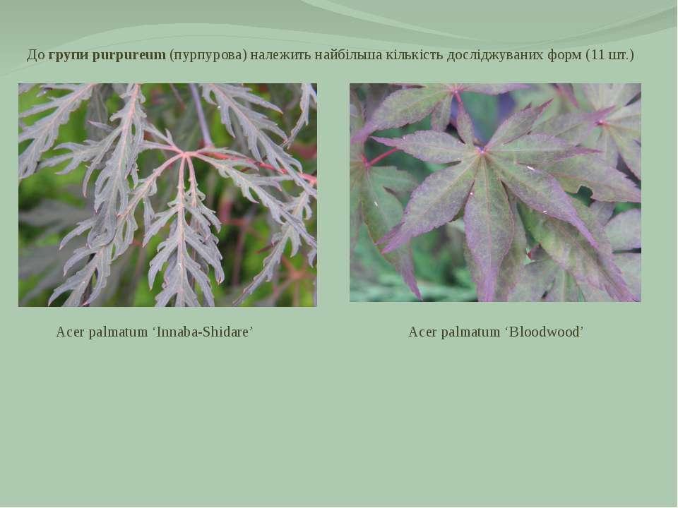 До групи purpureum (пурпурова) належить найбільша кількість досліджуваних фор...