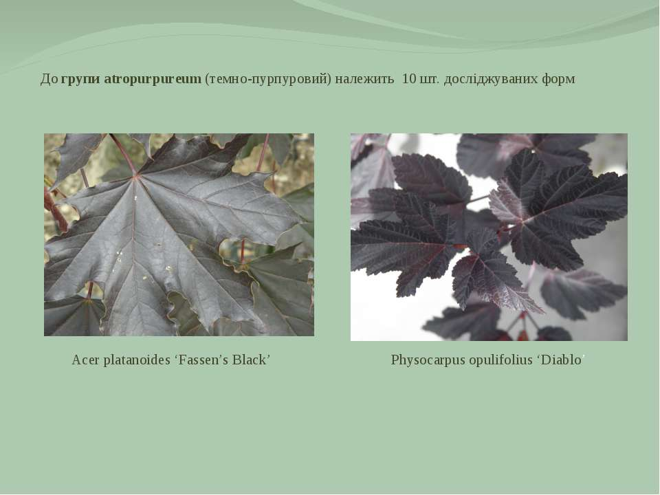 До групи atropurpureum (темно-пурпуровий) належить 10 шт. досліджуваних форм ...