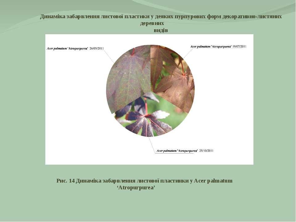 Рис. 14 Динаміка забарвлення листової пластинки у Acer palmatum 'Atropurpurea...
