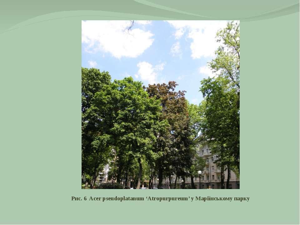 Рис. 6 Acer pseudoplatanum 'Atropurpureum' у Маріїнському парку