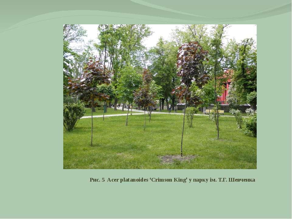 Рис. 5 Acer platanoides 'Crimson King' у парку ім. Т.Г. Шевченка