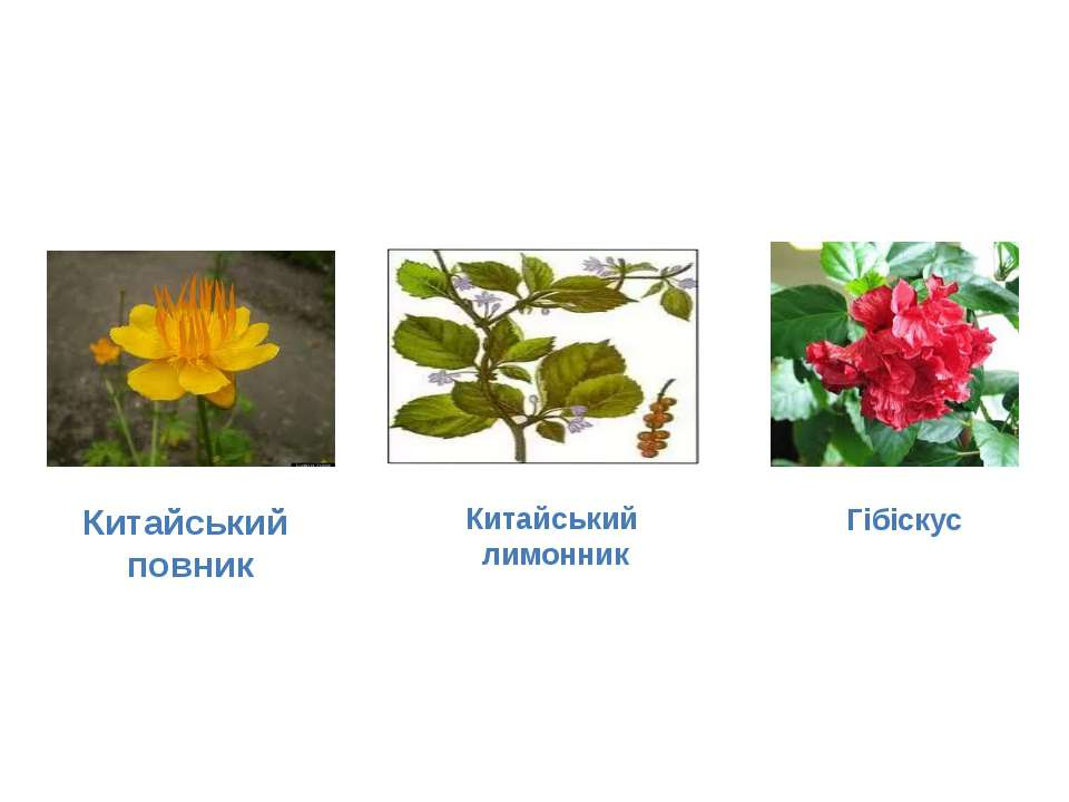 Надзвичайно різноманітний є рослинний світ Китаю, який нараховує близько 35 т...
