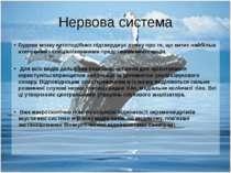 Нервова система Будова мозку китоподібних підтверджує думку про те, що китиє ...