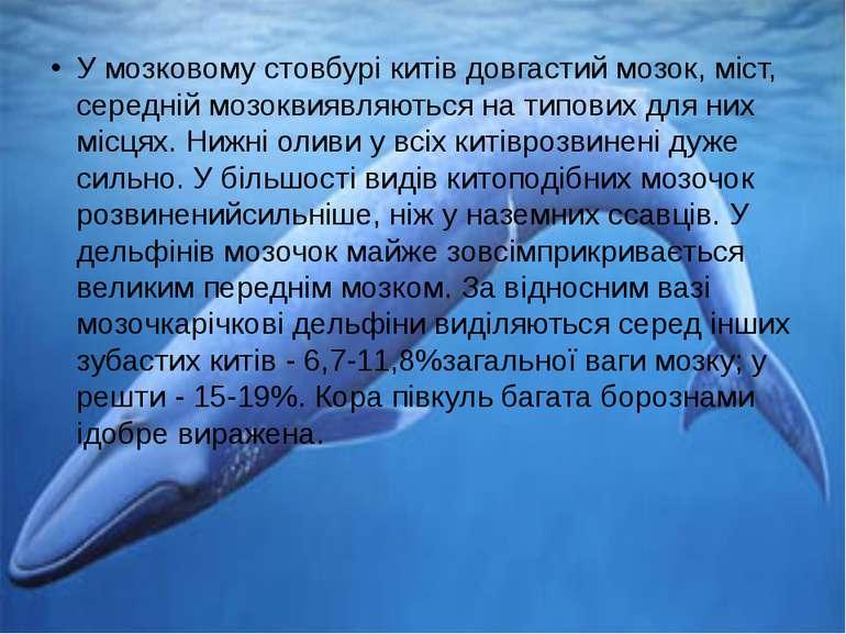 У мозковому стовбурі китів довгастий мозок, міст, середній мозоквиявляються н...
