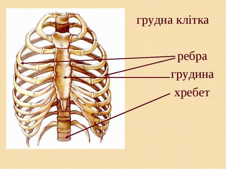 грудна клітка ребра грудина хребет