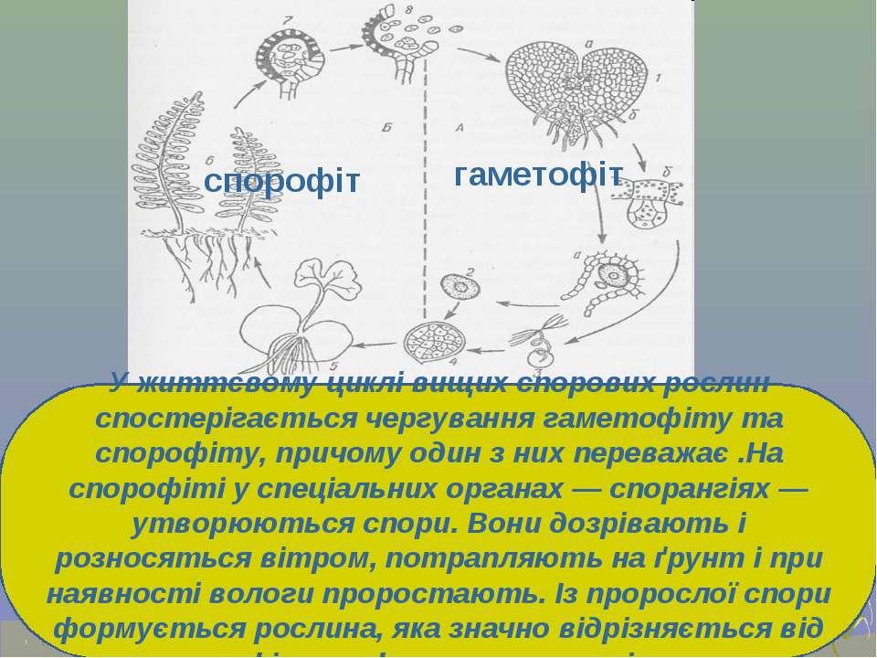 У життєвому циклі вищих спорових рослин спостерігається чергування гаметофіту...