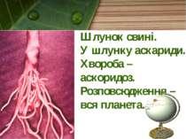Шлунок свині. У шлунку аскариди. Хвороба – аскоридоз. Розповсюдження – вся пл...