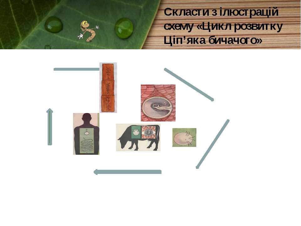 Скласти з ілюстрацій схему «Цикл розвитку Ціп'яка бичачого»