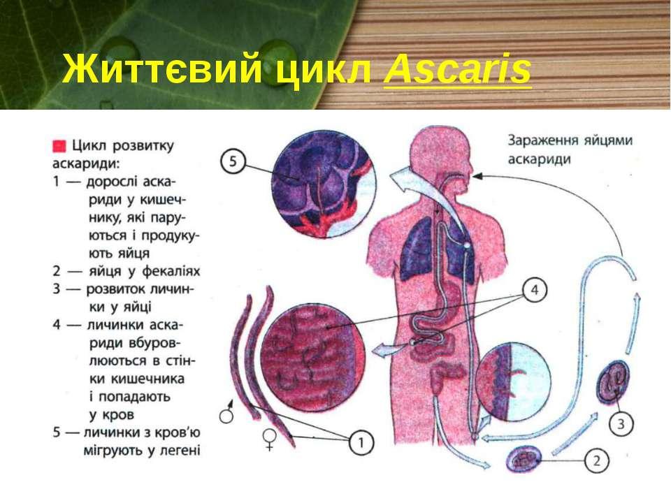 Життєвий цикл Ascaris
