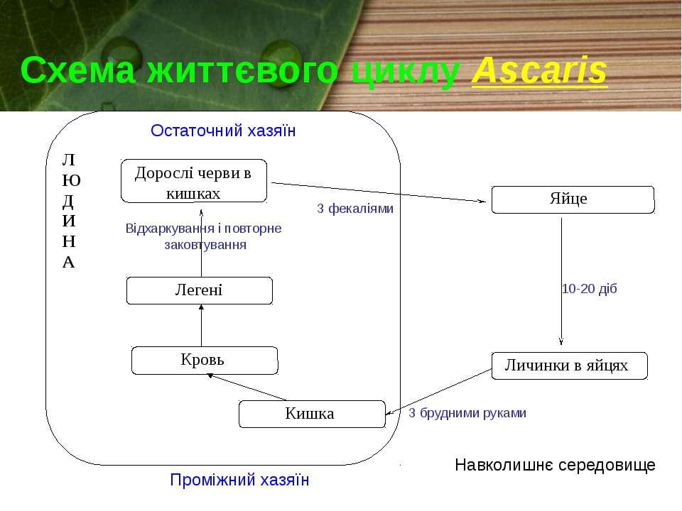 Схема життєвого циклу Ascaris Л Ю Д И Н А Яйце Личинки в яйцях Проміжний хазя...