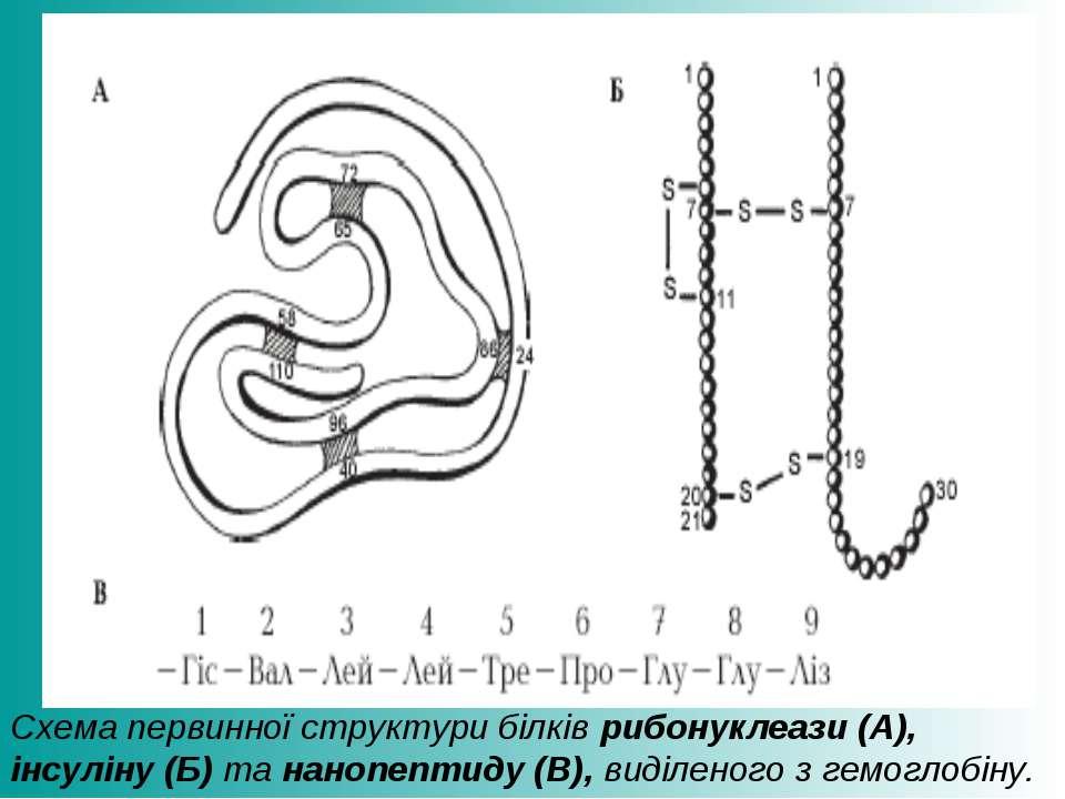 Схема первинної структури білків рибонуклеази (А), інсуліну (Б) та нанопептид...