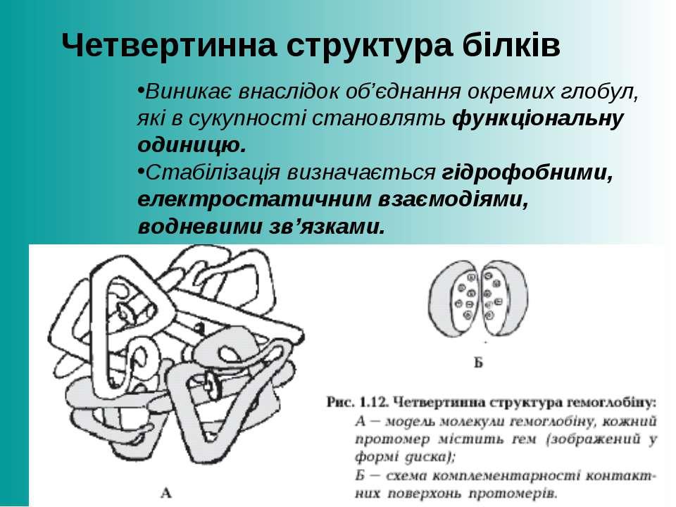 Четвертинна структура білків Виникає внаслідок об'єднання окремих глобул, які...