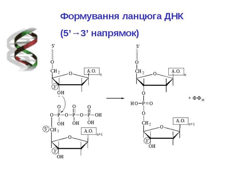 Формування ланцюга ДНК (5'→3' напрямок)