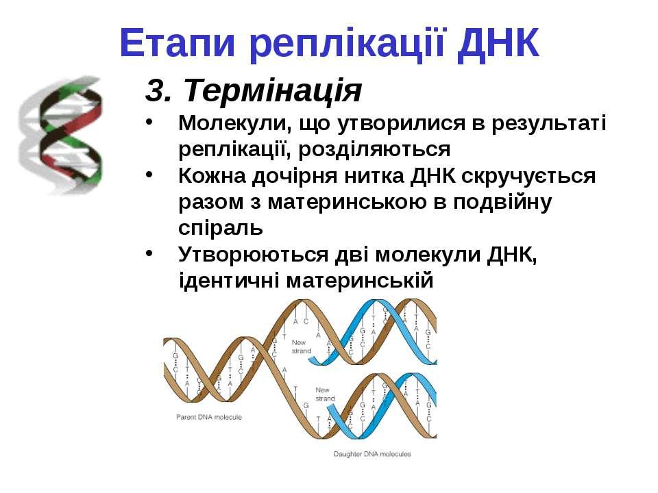 Етапи реплікації ДНК 3. Термінація Молекули, що утворилися в результаті реплі...