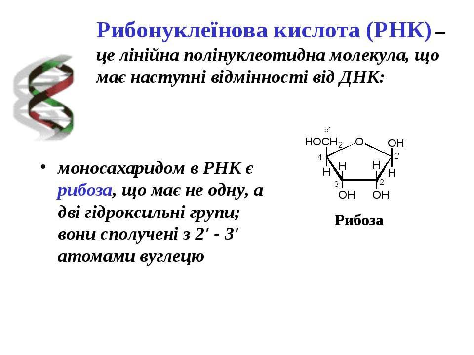 Рибонуклеїнова кислота (РНК) – це лінійна полінуклеотидна молекула, що має на...