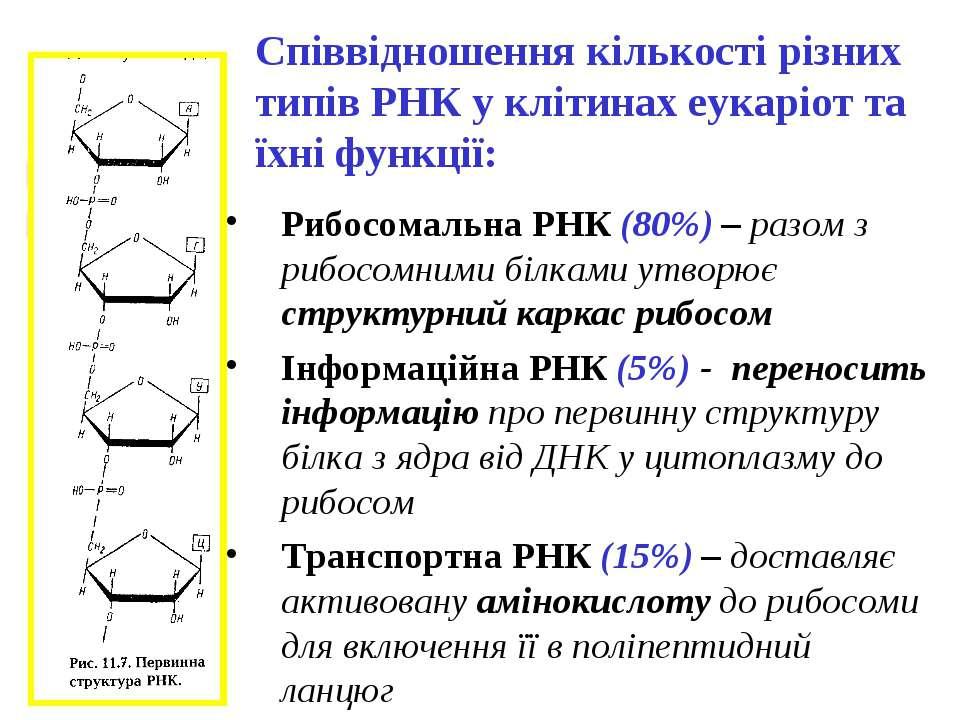 Співвідношення кількості різних типів РНК у клітинах еукаріот та їхні функції...