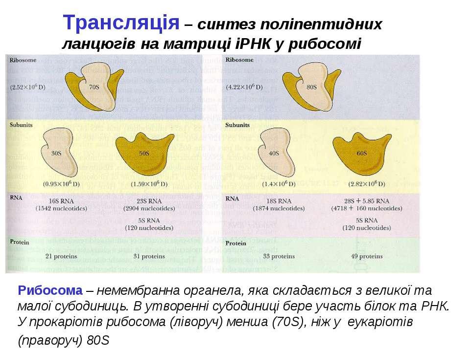 Рибосома – немембранна органела, яка складається з великої та малої субодиниц...