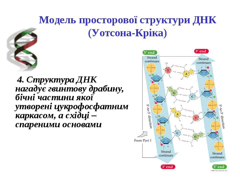 Модель просторової структури ДНК (Уотсона-Кріка) 4. Структура ДНК нагадує гви...