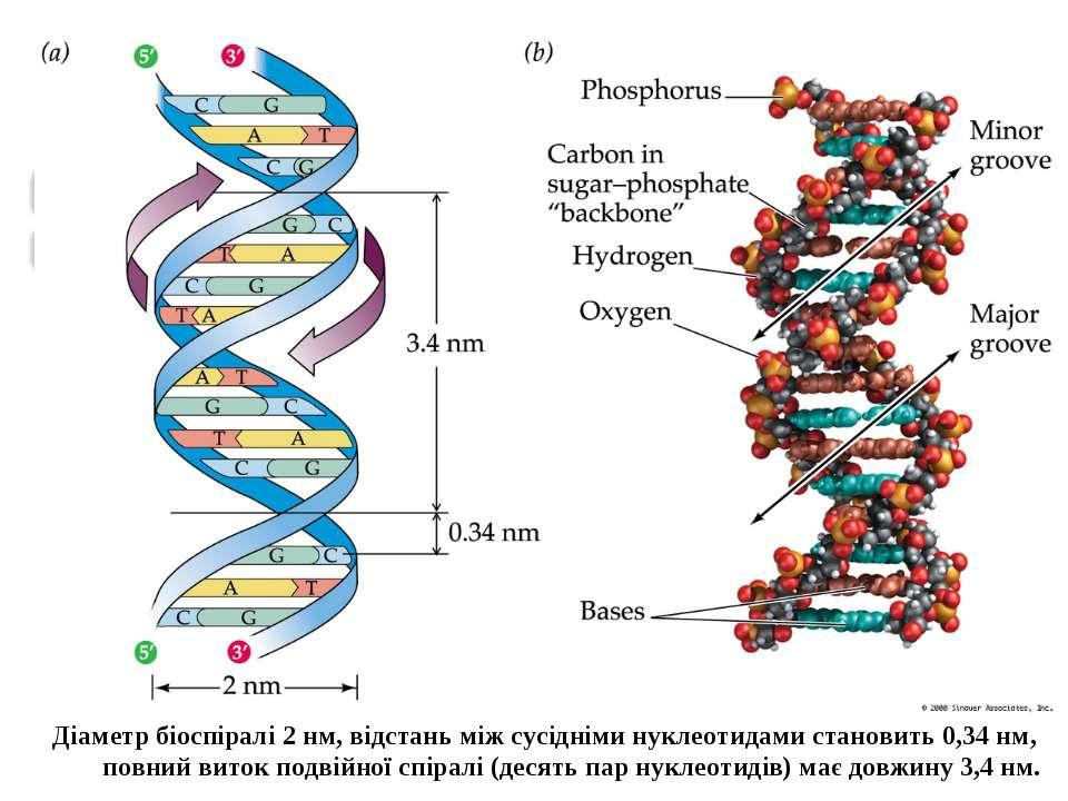 Діаметр біоспіралі 2 нм, відстань між сусідніми нуклеотидами становить 0,34 н...