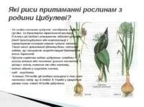 За своїми ознаками цибулеві нагадують лілійних. Це дво- чи багаторічні трав'я...