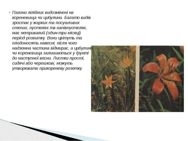 Пагони лілійних видозмінені на кореневища чи цибулини. Багато видів зростає у...