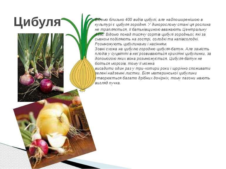Відомо близько 400 видів цибулі, але найпоширенішою в культурі є цибуля город...