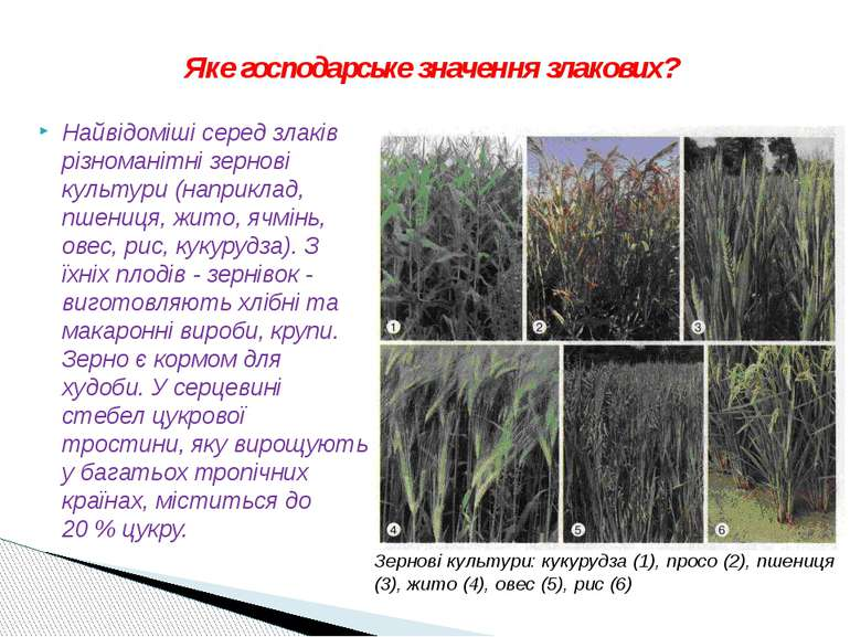Найвідоміші серед злаків різноманітні зернові культури (наприклад, пшениця, ж...