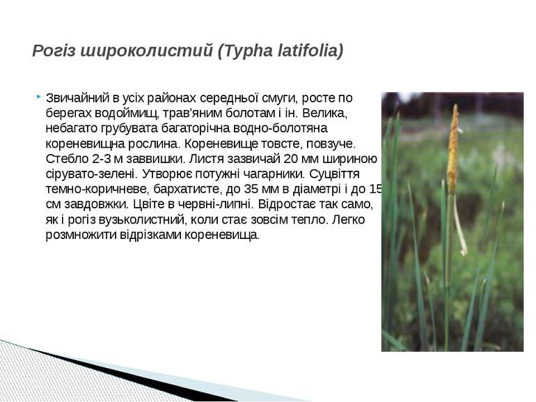 Звичайний в усіх районах середньої смуги, росте по берегах водоймищ, трав'яни...