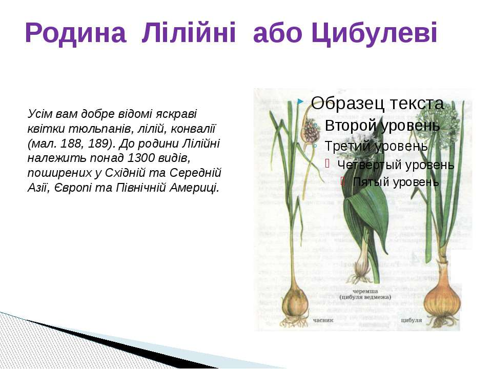 Родина Лілійні або Цибулеві Усім вам добре відомі яскраві квітки тюльпанів, л...