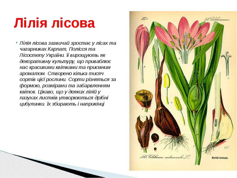 Лілія лісова зазвичай зростає у лісах та чагарниках Карпат, Полісся та Лісост...