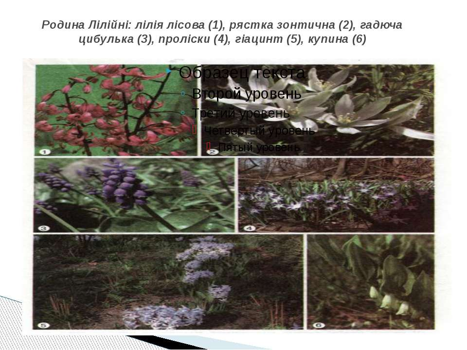 Родина Лілійні: лілія лісова (1), рястка зонтична (2), гадюча цибулька (3), п...