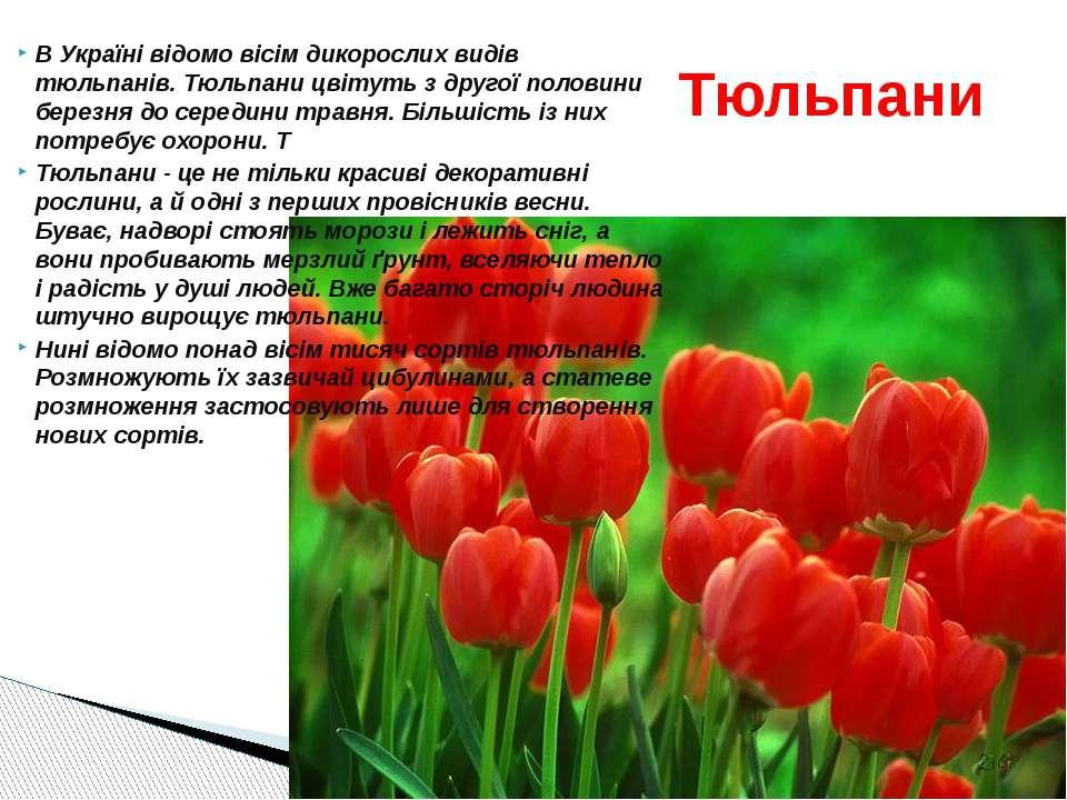 В Україні відомо вісім дикорослих видів тюльпанів. Тюльпани цвітуть з другої ...