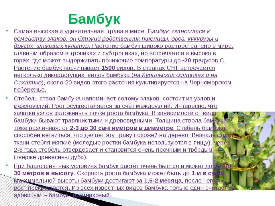 Самая высокая и удивительная трава в мире. Бамбук относится к семейству зла...