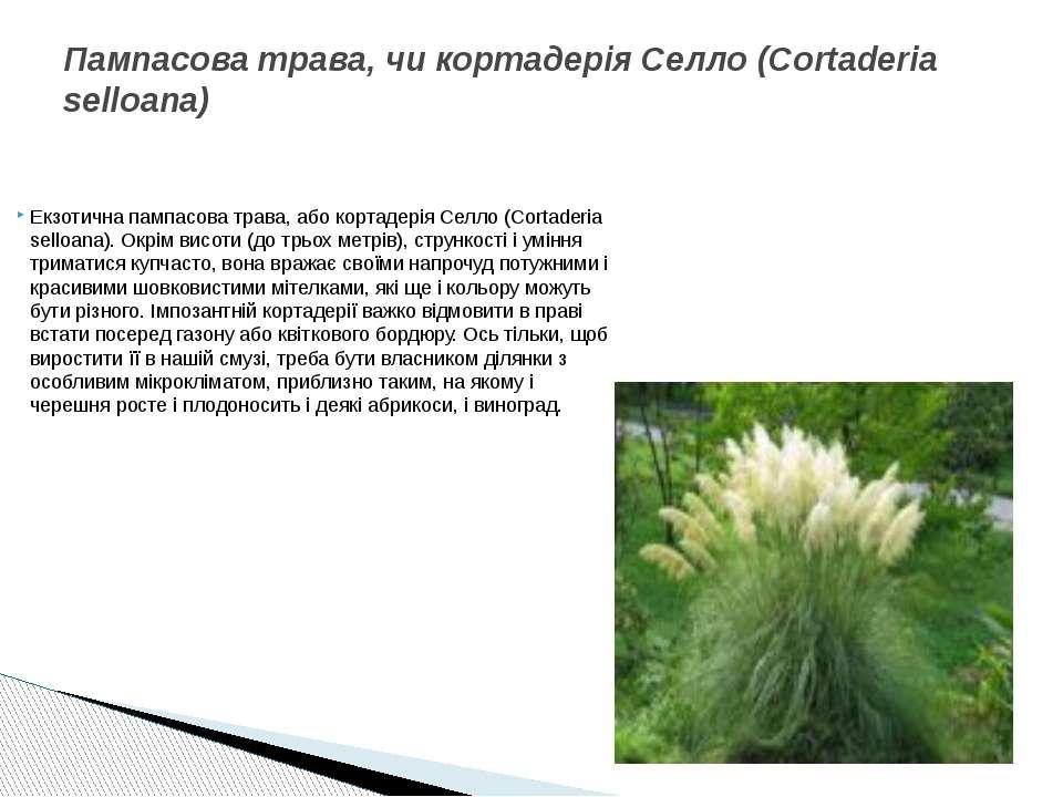 Екзотична пампасова трава, або кортадерія Селло (Cortaderia selloana). Окрім ...