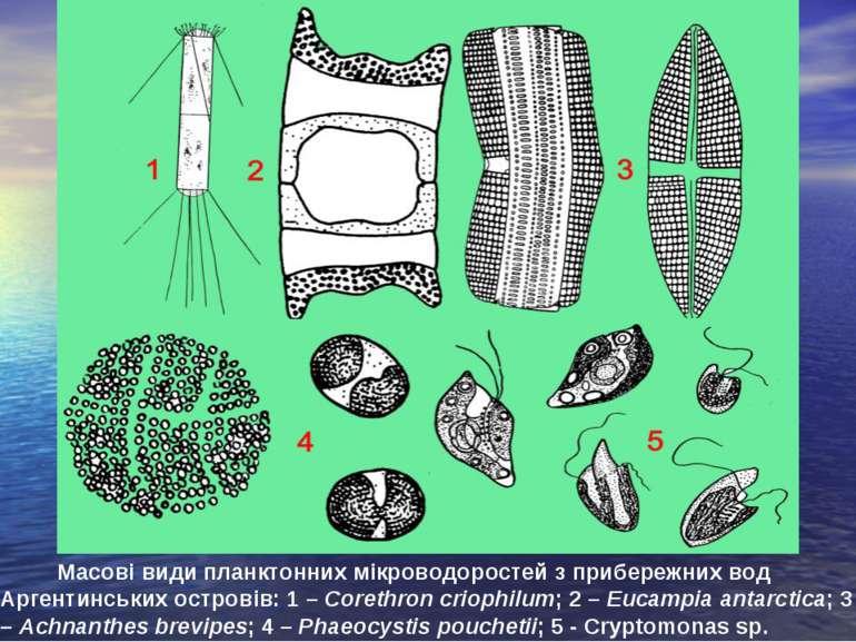 Масові види планктонних мікроводоростей з прибережних вод Аргентинських остро...