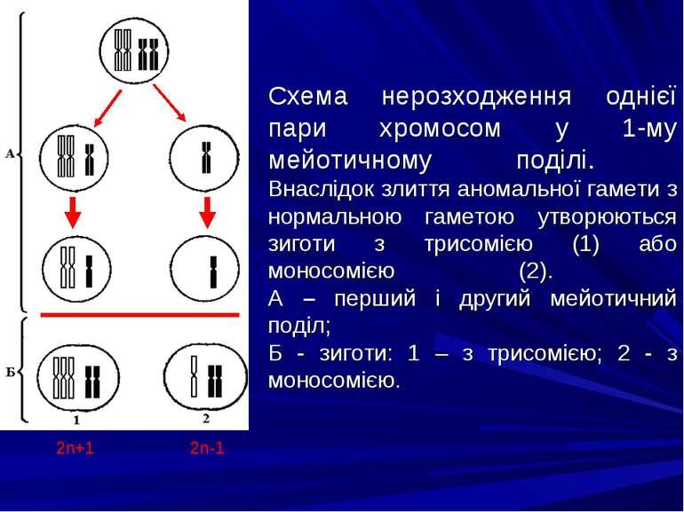 Схема нерозходження однієї пари хромосом у 1-му мейотичному поділі. Внаслідок...